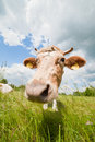 Happy and nosy cow in ecological farm photo of healthy Stock Photography