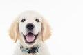 Happy panting golden labrador retriever puppy dog Royalty Free Stock Photo