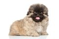 Happy pekingese puppy close up portrait of on a white background Stock Image