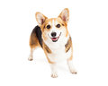 Happy pembroke welsh corgi dog standing a while looking forward Royalty Free Stock Image