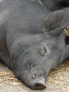 Happy pig barn yard enjoying an afternoon snooze Royalty Free Stock Images