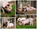 Happy piglets high resolution Stock Photo
