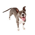 Happy Pit Bull Dog Standing Looking Up Royalty Free Stock Photo