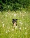 Happy pitbull hiding in a green lush meadow