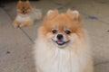Happy pomeranian dog cute pet smile