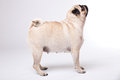 Happy pug isolated on white background Stock Images