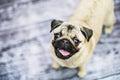 Happy pug puppy dog Royalty Free Stock Photo