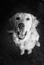 A happy puppy black and white photo of golden retriever Stock Photo