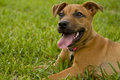 Happy puppy waiting in the grass to play Royalty Free Stock Image
