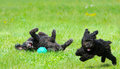 Happy pups adorable miniature poodle and cute toy poodle puppy having a great time in the yard in the spring after a very long Royalty Free Stock Image