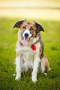 Happy red dog border collie Stock Photo