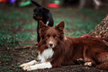 Happy red dog border collieo