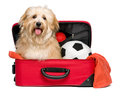 Happy reddish Bichon Havanese dog in a red traveling suitcase Royalty Free Stock Photo