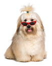 Happy reddish havanese dog is wearing a funny red sunglasses beautiful bichon and looking at camera isolated on white background Royalty Free Stock Images