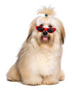 Happy reddish havanese dog is wearing a funny red sunglasses beautiful bichon and looking at camera isolated on white background Stock Photo