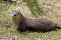 Happy river otter sunning on grassy bank a young a Stock Images