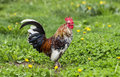 Happy rooster in the garden Royalty Free Stock Photo