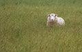 Happy Sheep Royalty Free Stock Photo