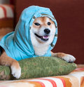 Happy shiba inu dog with blue jacket on pillow Stock Photography