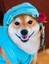 Happy smile form shiba inu dog w with blue jacket hood and red rose Royalty Free Stock Photos