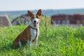 Happy smiling basenji puppy month old having rest on a grass at sunny spring day Stock Images