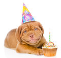 Happy smiling Bordeaux puppy dog with birthday hat and cake. isolated Royalty Free Stock Photo