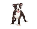 Happy and Smiling Boston Terrier Puppy Royalty Free Stock Photo