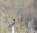 Happy spring robin sitting on fence post a american turdus migratorius bird a Stock Images