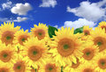Happy Sunflowers in a Field on a Sunny Day Royalty Free Stock Photos