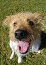 Happy Terrier Stock Images