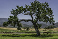 Happy trail oak tree in santa ynez valley santa barbara county california spring Stock Images