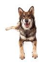 Happy Wolf and German Shepherd Cross Dog Laying Royalty Free Stock Photo