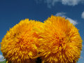 Happy yellow flowers in the sky two spherical round flower on blue Stock Photo