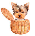 Happy yorkie toy standing in a basket little over white Royalty Free Stock Photo