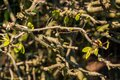 Harbingers of spring: Fresh shoots of a tree with green, small leaves in the sunlight Royalty Free Stock Photo