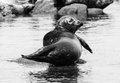 Harbor seal in black and white a single rests on rock monterey bay california Stock Photography