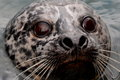 Harbor seal close up a mugs for the photographer in hopes of getting its portrait published Royalty Free Stock Photo