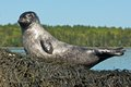 Harbor seal pup a stretches in the midday sun in downeast maine Stock Photography