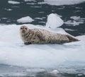 Harbor Seal Royalty Free Stock Photo