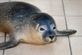 Harbor seal in seal sanctuary common phoca vitulina recovering from injuries ecomare on the island texel netherlands Stock Images