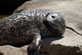 Harbor seal seals phoca vitulina richardsi in la jolla cove la jolla california usa Stock Photo