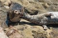 Harbor seal seals phoca vitulina richardsi in la jolla cove la jolla california usa Royalty Free Stock Photography