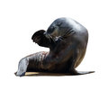 Harbor seal on white background Royalty Free Stock Image