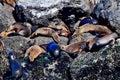Harbor seals Royalty Free Stock Photo