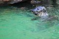 Harbour seal the looking out of the water Royalty Free Stock Photography