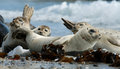Harbour seal phoca vitulina sleepy seals resting on beach Royalty Free Stock Photos