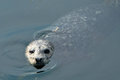 Harbour seal in sea Stock Images