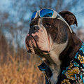 Hard bulldog a tough blue brindle olde english with aloha shirt and sunglasses on forehead Stock Image