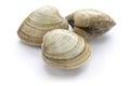 Hard clam, quahog Royalty Free Stock Photo