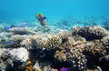 Hard-coral reef in Red sea Royalty Free Stock Photo